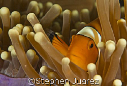Clown fish  North Sulawesi by Stephen Juarez 
